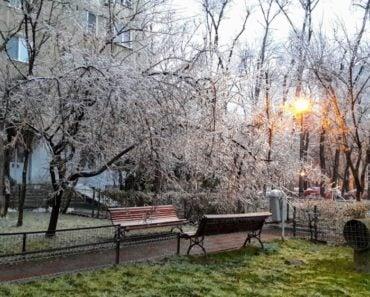 În Berceni mai mulți arbori au cedat astăzi sub greutatea gheții 5